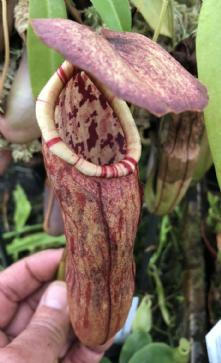 NMC062 Nepenthes bokorensis